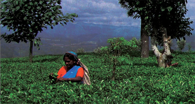 Does 'Fair Trade' Help Those Who Harvest Tea?
