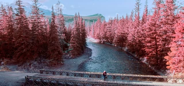 Photo for Pink Trees in Jasper National